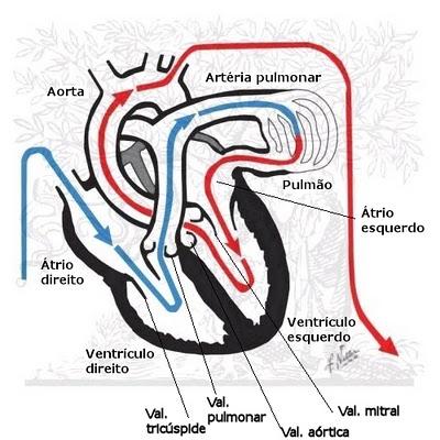 circulação cardiaca
