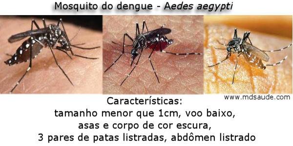 Mosquito da dengue (aedes aegypti)