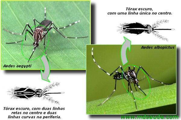 aedes Mosquito da dengue (aegypti e aedes albopictus)