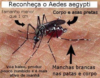 Foto do mosquito da dengue - Aedes aegypti