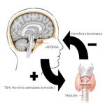 Hormonas TSH y T4 libre – Examen de la función tiroidea