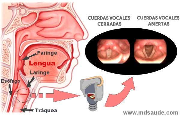 Anatomía de las vías respiratorias y la laringe