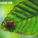 FEBRE MACULOSA – Doença do Carrapato Estrela