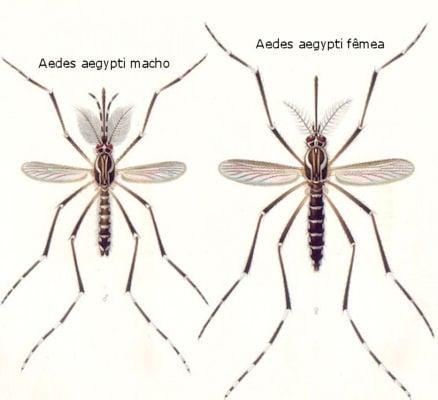Aedes aegypti macho e fêmea