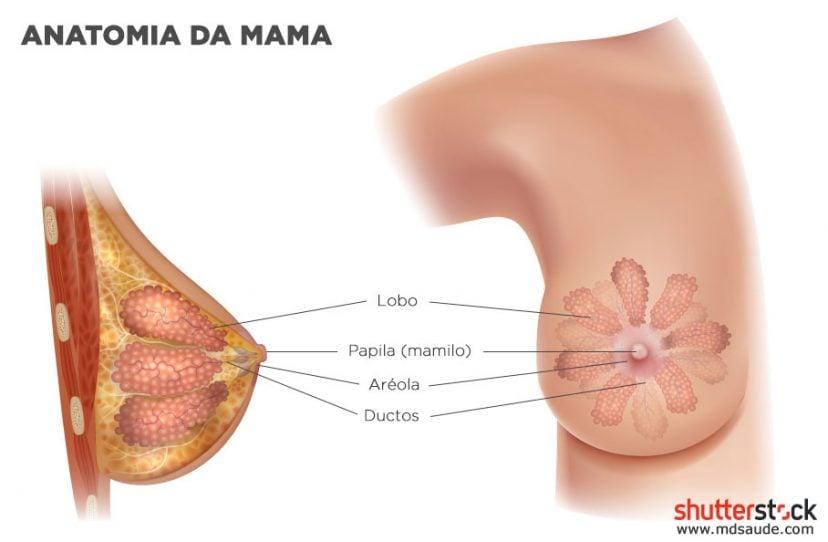 Anatomia das mamas (glândulas mamárias)