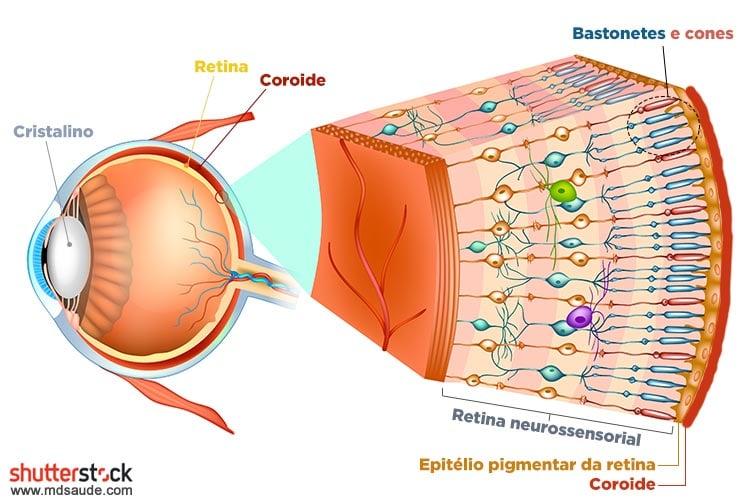 Anatomia da retina