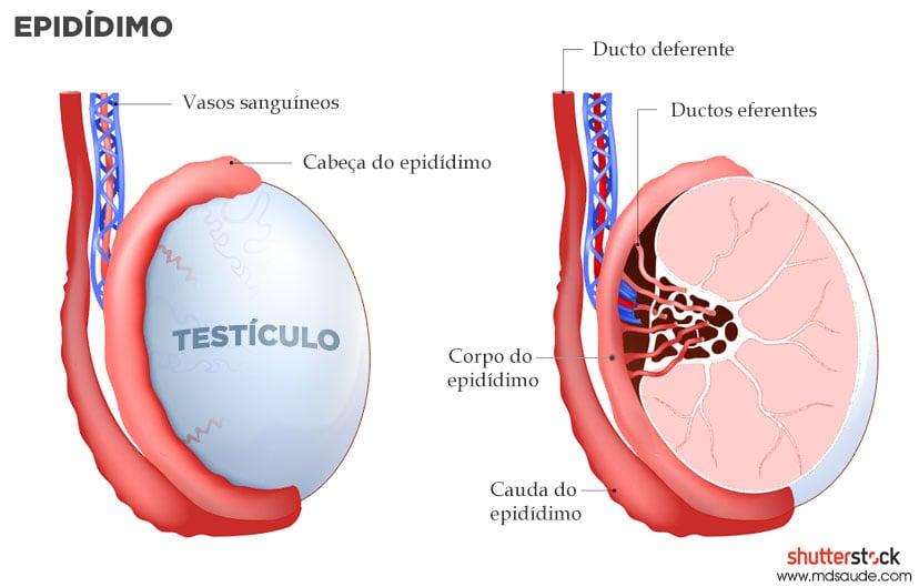 Anatomia do epidídimo