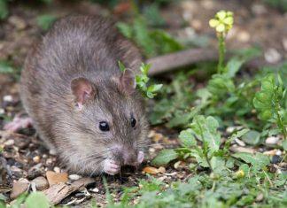 Rato - leptospirose