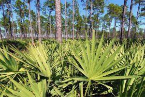 Saw palmetto – Serenoa repens – Benefícios, Dosagem e Efeitos