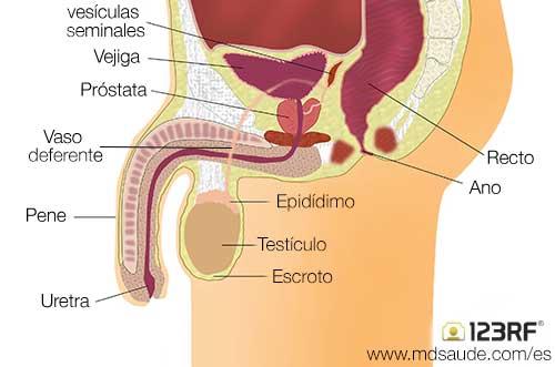 para k sirve la prostata